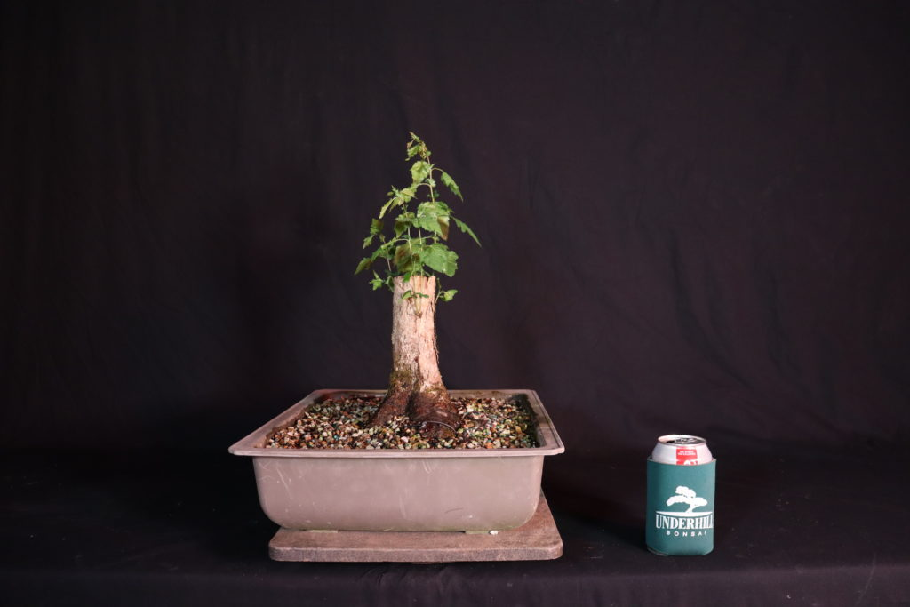 A Stump Of A Tree Underhill Bonsai