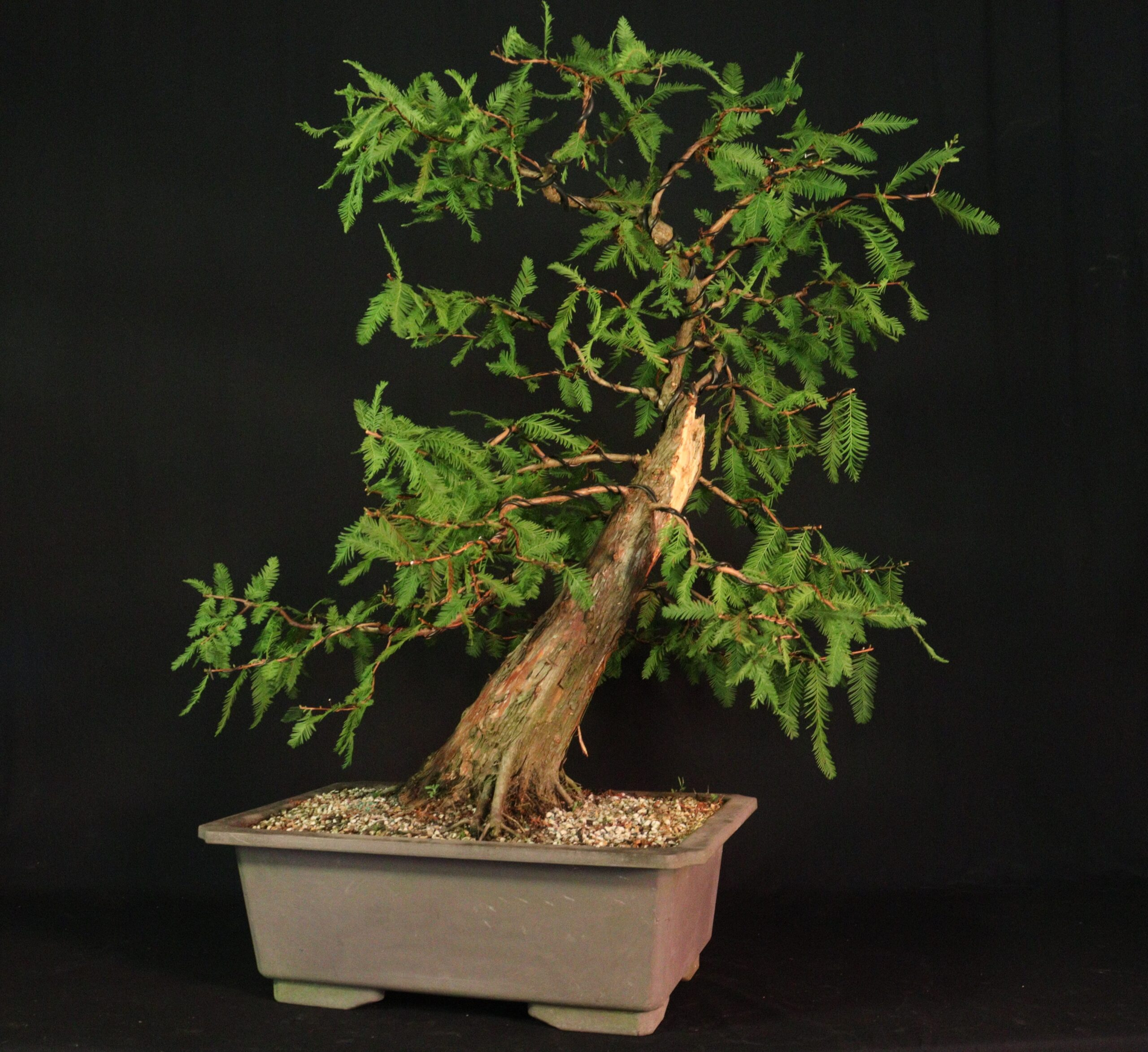 Taxodium Distichum Td 02 Underhill Bonsai