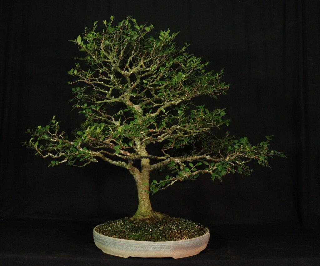 Ulmus parvifolia 'Adkins'